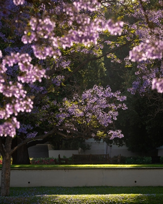 A view of the academic quad with jacaranda trees in full bloom